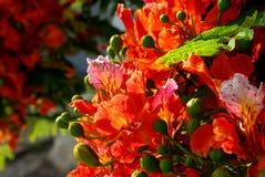 4朵花poinciana 图库摄影
