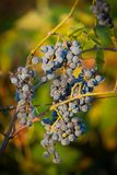 4束葡萄红色 库存图片