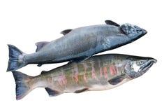 4条三文鱼二 免版税库存图片