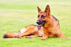 4条狗德国牧羊犬 免版税图库摄影