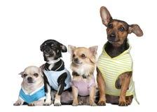4条狗穿戴的组  库存图片
