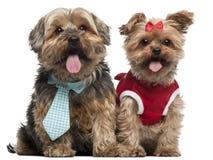 4条穿戴的半狗上升约克夏 库存照片