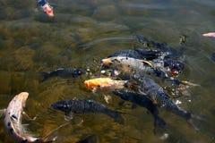 4条腼腆的鱼 免版税图库摄影
