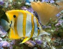 4条蝴蝶copperband鱼 免版税图库摄影