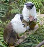 4染色绢毛猴 库存照片