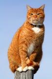 4查找平纹黄色的猫 免版税库存照片