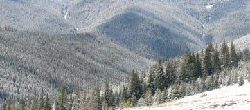 4棵喀尔巴阡山脉的冷杉 图库摄影