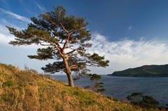 4棵海岸杉木 图库摄影