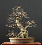 4棵盆景结构树 免版税库存照片