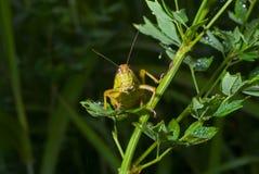 4棵草蚂蚱 图库摄影