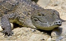 4澳大利亚鳄鱼 免版税库存图片