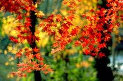 4片叶子槭树南京 免版税图库摄影