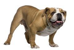 4牛头犬英国老常设年 库存图片