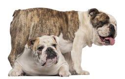 4牛头犬英国老年 免版税库存图片