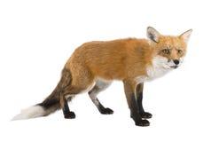 4狐狸红色狐狸年 免版税图库摄影