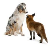 4狐狸老使用的红色狐狸年 库存图片