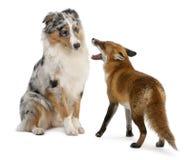 4狐狸老使用的红色狐狸年 免版税库存照片