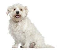 4狗马尔他混杂的老坐的年 免版税库存图片
