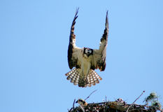 4白鹭的羽毛 库存图片