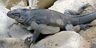 4盐腌的鬣鳞蜥 库存照片