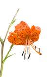 4种百合属植物百合pseudotigrinum 库存图片