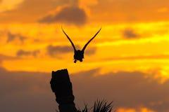 4群美洲蛇鸟日落 免版税图库摄影