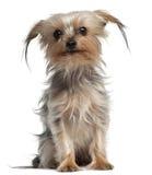 4老坐的狗年约克夏 库存图片