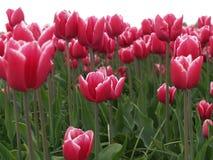 4荷兰语tulipfield 免版税库存照片