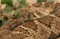 4菱纹背响尾蛇 免版税库存照片