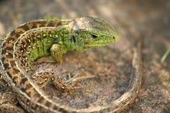 4蜥蜴 库存图片