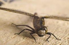 4蜻蜓 库存图片