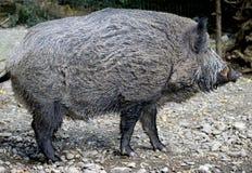 4通配的公猪 库存图片