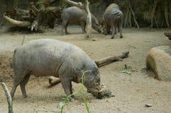 4野猪 库存图片