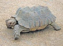 4非洲被激励的草龟 库存照片