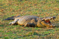 4非洲鳄鱼 库存图片