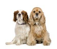 4骑士charl斗鸡家国王西班牙猎狗年 免版税库存照片