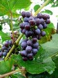 4黑色葡萄 库存图片