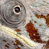 4 år för pardalis för kameleontfurcifermasoala Royaltyfri Fotografi