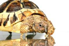 4 żółwia Fotografia Royalty Free