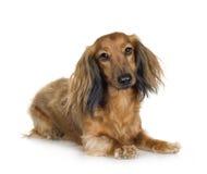 4 έτη dachshund Στοκ Εικόνες