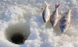 4 αλιεύοντας πέρκα Στοκ Φωτογραφίες
