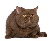 4 βρετανικά έτη shorthair γατών παλα&iot Στοκ Φωτογραφίες