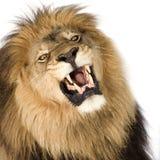 4 μισά έτη panthera λιονταριών leo Στοκ φωτογραφίες με δικαίωμα ελεύθερης χρήσης