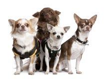 4 ντυμένη chihuahuas ομάδα επάνω Στοκ Εικόνες