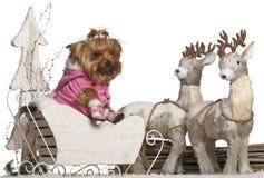 4 παλαιά έτη Γιορκσάιρ τεριέ Χριστουγέννων Στοκ Εικόνες
