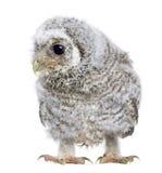 4 παλαιές εβδομάδες owlet noctua athene Στοκ Εικόνες