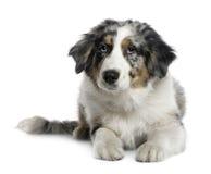 4 австралийских старого месяца чабана щенка Стоковые Фото