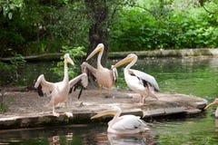 4 белых пеликана Стоковое фото RF
