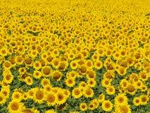 4 блаженных солнцецвета поля Стоковое Изображение