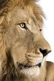 4 близкий половинный головной львев p s вверх по летам Стоковое Изображение RF